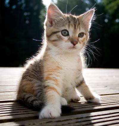 חתול נטול אבולה