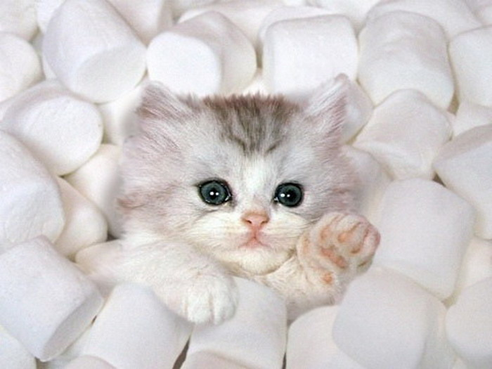 marshmellow-kitten-big
