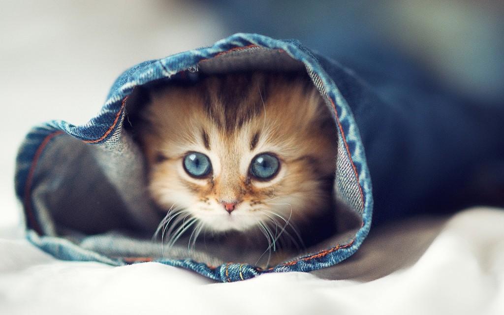 חתול מוכן לפנדמיה