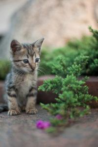 התמונה לקוחה מהערך החיוני הבא: https://en.wikipedia.org/wiki/Kitten